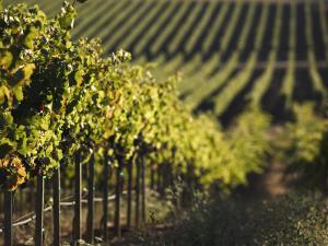 Vineyard, Napa, Napa Valley, California, USA by Walter Bibikow