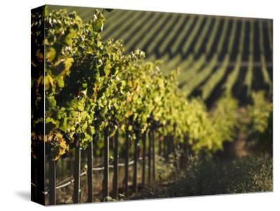 Vineyard, Napa, Napa Valley, California, USA