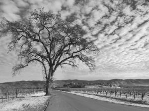 Vineyards in Winter, Napa, Napa Valley Wine Country, Northern California, Usa by Walter Bibikow