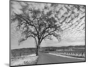 Vineyards in Winter, Napa, Napa Valley Wine Country, Northern California, Usa by Walter Bibikow