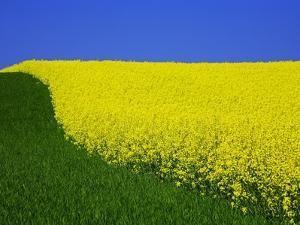 Blooming Rape Plant Field by Walter Geiersperger