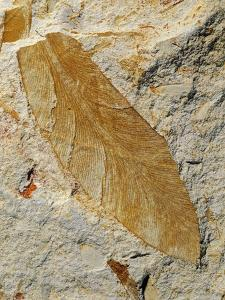 Fossil Leaf of Seed Fern by Walter Geiersperger