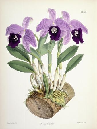Laelia Dayana, C.1882-1897