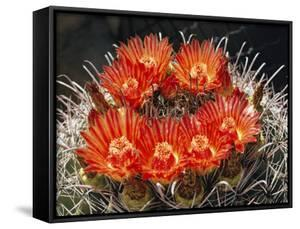 Barrel Cactus in Bloom by Walter Meayers Edwards
