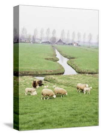 Sheep and Farms on Reclaimed Polder Lands Around Amsterdam, Holland
