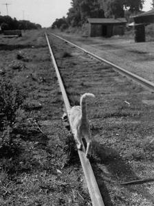 Alley Cat Serenely Walking the Tracks by Walter Sanders