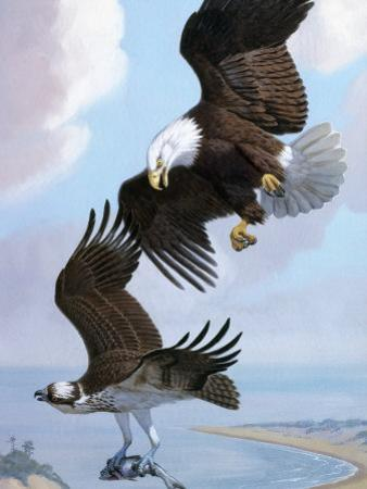 Bald Eagle Bullies Osprey in Flight to Force it to Give Up its Catch by Walter Weber