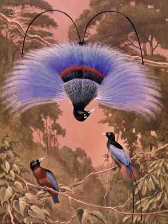 Blue Bird of Paradise Performs Courtship Display Hanging Upside Down by Walter Weber