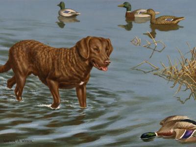 Chesapeake Bay Retriever Wades in Water to Retrieve a Dead Duck by Walter Weber