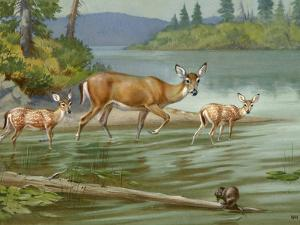 Doe and Her Fawns Walk Cautiously into the Water by Walter Weber