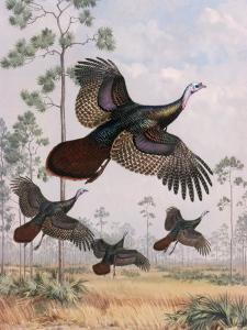 Flushed Out of Hiding, Wild Turkeys Take Flight Near Tall Pine Trees by Walter Weber