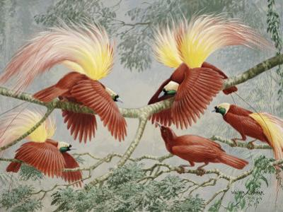 Four Rival Male Greater Birds of Paradise Vie for Female's Attention by Walter Weber