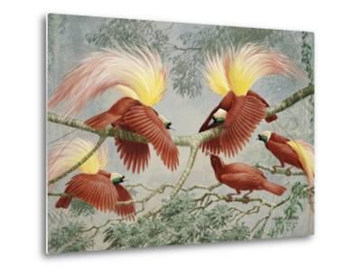 Four Rival Male Greater Birds of Paradise Vie for Female's Attention