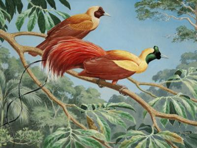 Male and Female Red Birds of Paradise Perch on a Tree Branch by Walter Weber