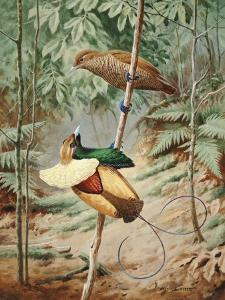 Male Magnificient Bird of Paradise Dances on Sapling for Female by Walter Weber