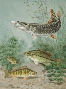 Northern Pike Bites Hook, Black Bass and Yellow Perch Swim Nearby by Walter Weber