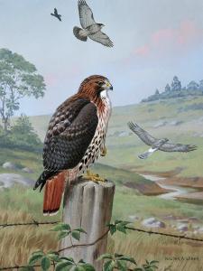 Red-Tailed Hawk Sits on Fence, Kingbird Chases Hawk Near Marsh Hawk by Walter Weber
