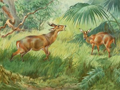 This Painting Depicts an Indian Muntjac Barking in a Forest by Walter Weber