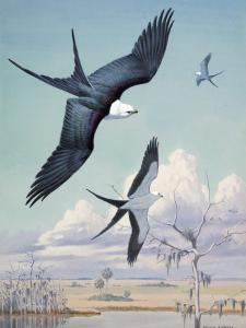 Three Swallow-Tailed Kite Birds Soar over Southern Swamp Land by Walter Weber