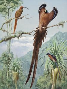 Two Competing Male Sicklebills Display Wing Feathers for a Female by Walter Weber