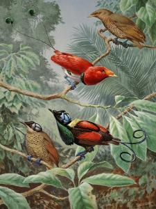 Two King Birds of Paradise Perch Above Two Wilson's Birds of Paradise by Walter Weber
