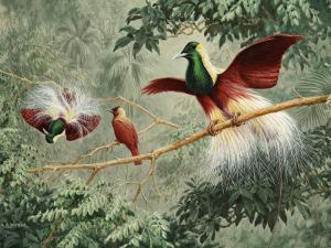 Two Male Emperor of Germany's Birds of Paradise Court a Female by Walter Weber