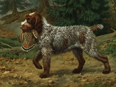 Wire-Haired Pointing Griffon Holds a Dead Bird in its Mouth