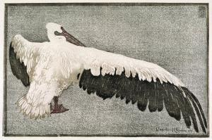 Pelican with Outspread Wings by Walther Klemm