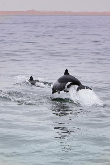 Walvis Bay, Namibia. Rare Pregnant Heaviside's Dolphin Breaching-Janet Muir-Photographic Print