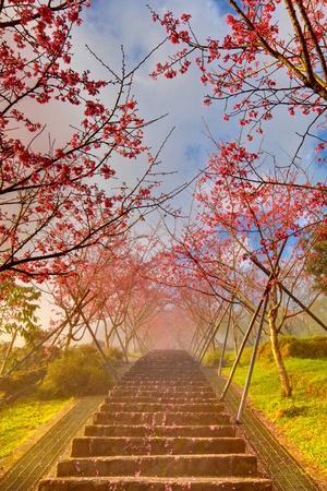 Cherry Blossom Tunnel
