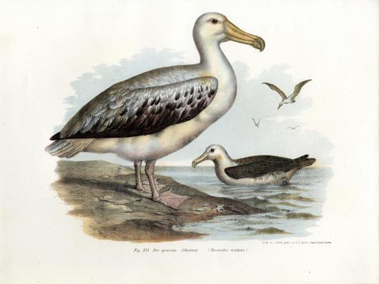 Wandering Albatross, 1864--Giclee Print