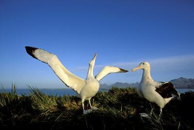 Wandering Albatross Courtship Display--Photographic Print