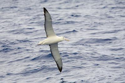 Wandering Albatross Flying above Sea-Momatiuk - Eastcott-Photographic Print