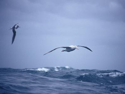 Wandering Albatross Gliding in Flight over the Ocean Surface, Australia-Jason Edwards-Photographic Print