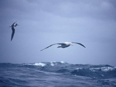 https://imgc.artprintimages.com/img/print/wandering-albatross-gliding-in-flight-over-the-ocean-surface-australia_u-l-p2z81v0.jpg?p=0