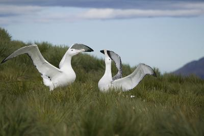 Wandering Albatross Performing Courtship Display-DLILLC-Photographic Print