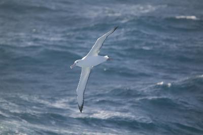 Wandering Albatross-DLILLC-Photographic Print