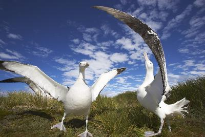 Wandering Albatrosses on South Georgia Island-Paul Souders-Photographic Print