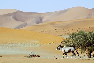 Wandering Dune of Sossuvlei in Namibia with Oryx Walking on It-Damian Ryszawy-Photographic Print