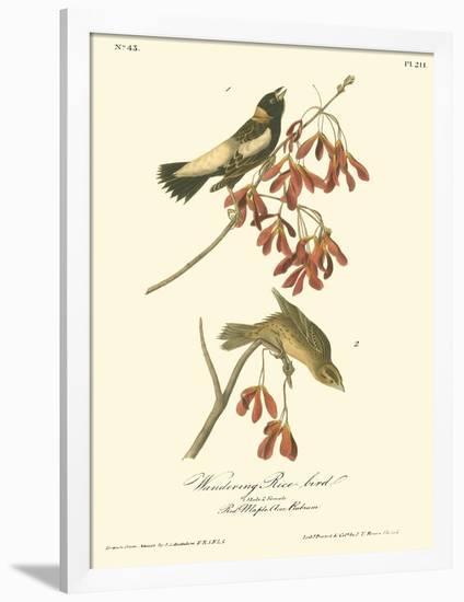 Wandering Rice Bird-John James Audubon-Framed Premium Giclee Print