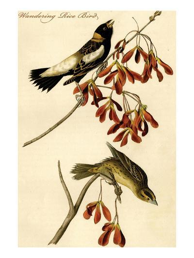 Wandering Rice Bird-John James Audubon-Art Print