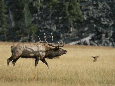Wapiti, or Elk, Male During Mating Season-Norbert Rosing-Photographic Print