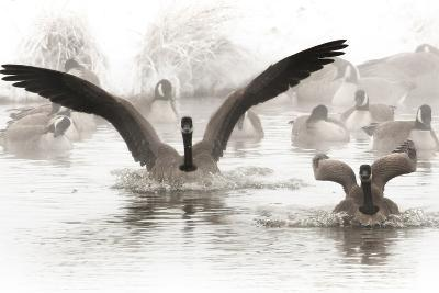Wapiti Valley, Wyoming. Usa. Canadian Geese Land in a Winter's Pond-Janet Muir-Photographic Print