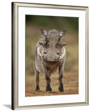 Warthog (Phacochoerus Aethiopicus), Male, Addo Elephant National Park, South Africa, Africa-James Hager-Framed Photographic Print