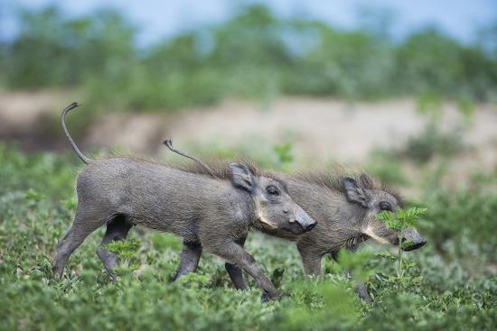 Warthog Piglets, Botswana-Richard Du Toit-Photographic Print