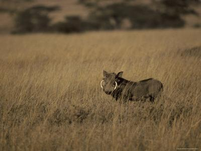 Warthog Portrait on Savannah Grassland with Large Tusks and Ears Alert, Serengetti, Tanzania-Jason Edwards-Photographic Print