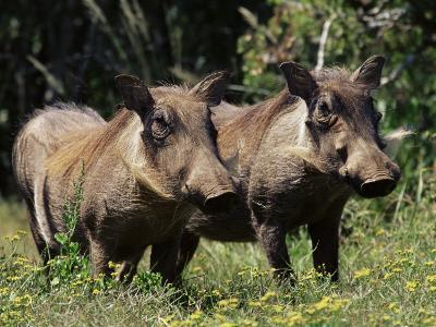 Warthogs (Phacochoerus Aethiopicus), Addo Elephant National Park, South Africa, Africa-James Hager-Photographic Print