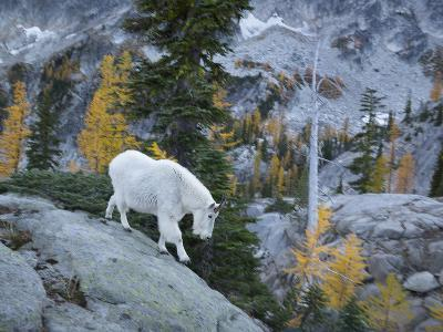 Washington, Adult Mountain Goat Steps Down a Rock Face in the Alpine Lakes Wilderness-Gary Luhm-Photographic Print