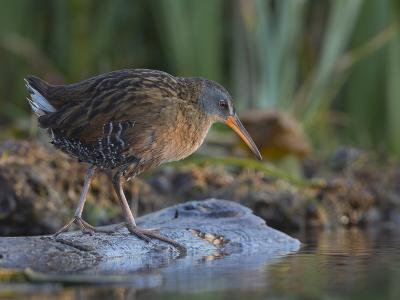 Washington, Adult Virginia Rail on a Marshy Shore on Lake Washington-Gary Luhm-Photographic Print