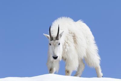 Washington, Alpine Lakes Wilderness, Mountain Goat, Billy Goat, Male-Jamie And Judy Wild-Photographic Print